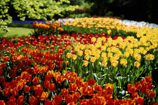 Keukenhof Gardens「Tulips in garden, spring」:スマホ壁紙(2)