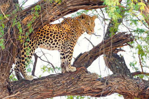 Okavango Delta「Leopard in a tree.」:スマホ壁紙(19)