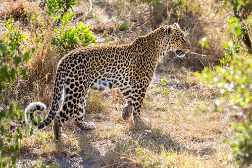 Cat「Leopard in Maasai Mara, Kenya」:スマホ壁紙(5)