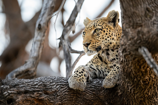 South Africa「Leopard in wildlife, Okavango Delta, Botswana, Africa」:スマホ壁紙(0)