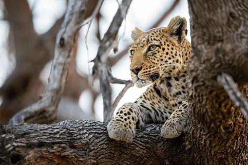 Panther「Leopard in wildlife, Okavango Delta, Botswana, Africa」:スマホ壁紙(16)