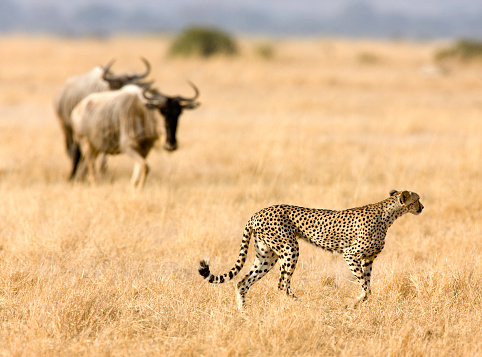 African Cheetah「Cheetah on the Prowl」:スマホ壁紙(12)