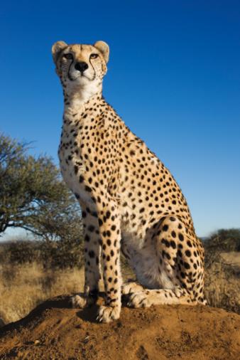 Endangered Species「Cheetah on termite mound.」:スマホ壁紙(12)