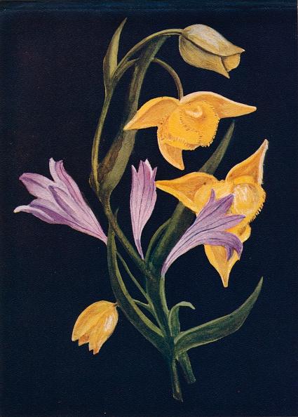 Violet - Flower「Diogenes Lantern & Harvest Brodiaea,  c1915, (1915)」:写真・画像(5)[壁紙.com]