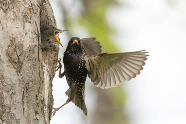 Common starling chick and parent:スマホ壁紙(壁紙.com)