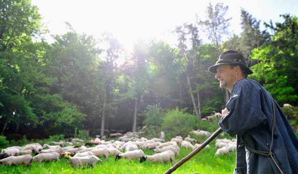 Vertebrate「Annual Sheep Drive In Moernsheim」:写真・画像(6)[壁紙.com]