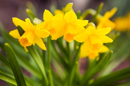 水仙「春の花: 黄色 Daffodils」:スマホ壁紙(10)