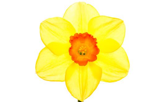 水仙「Spring flowering daffodil flower.」:スマホ壁紙(1)
