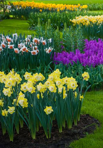 水仙「Spring flowerbeds with daffodils (Narcissus) and hyacinth, Keukenhof, Lisse, Holland」:スマホ壁紙(10)