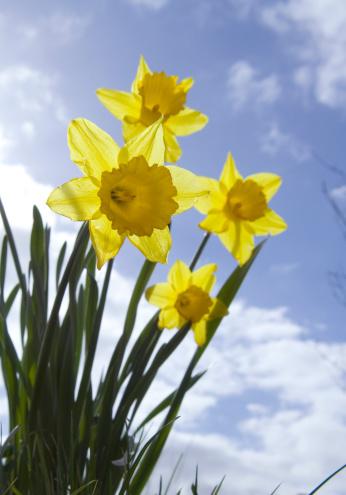 水仙「春の花」:スマホ壁紙(2)