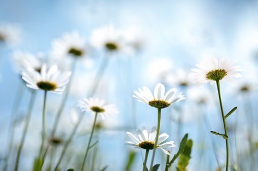 Marguerite - Daisy「Spring Flowers」:スマホ壁紙(17)