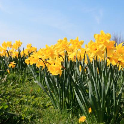 水仙「春の花」:スマホ壁紙(15)