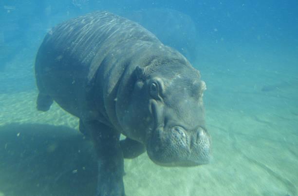 Hippo (Hippopotamus amphibius) underwater:スマホ壁紙(壁紙.com)