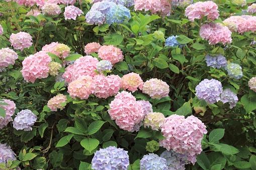 あじさい「Flower immersion」:スマホ壁紙(19)
