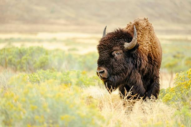 North American Bison:スマホ壁紙(壁紙.com)