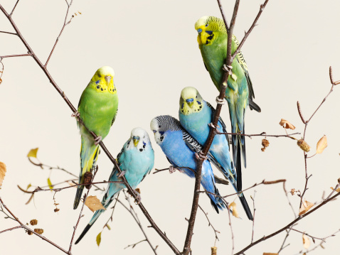 Pastel「Budgies grouped on a branch」:スマホ壁紙(12)