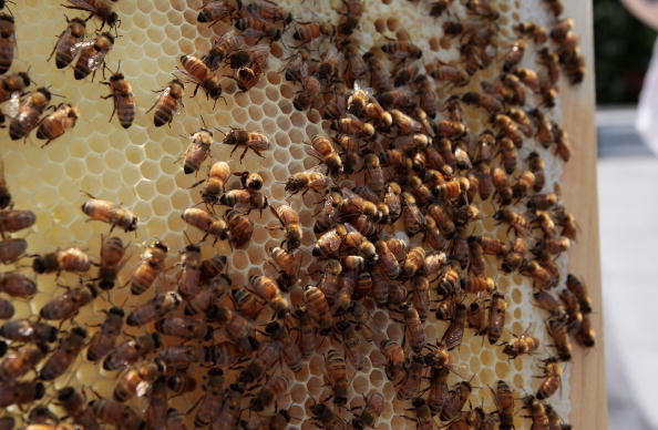 Colony - Group of Animals「Urban Beekeepers Tend To Hives In New York City」:写真・画像(6)[壁紙.com]