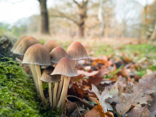 Colony of Ink Cap mushrooms (Coprinellus micaceus) in Richmond Park:スマホ壁紙(壁紙.com)