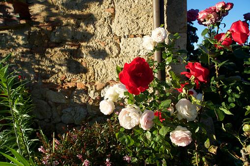花「Roseto, giardino toscano」:スマホ壁紙(7)