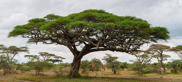 Giraffe「Acacia tree and giraffes, landscape in Africa」:スマホ壁紙(7)