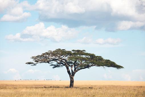 Single Tree「Acacia Tree In Africa」:スマホ壁紙(2)