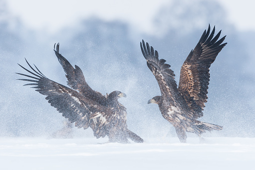 Animals Hunting「White-tailed eagle (Haliaeetus albicilla)」:スマホ壁紙(0)
