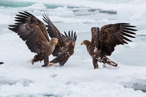 Animals Hunting「White-tailed eagle」:スマホ壁紙(3)