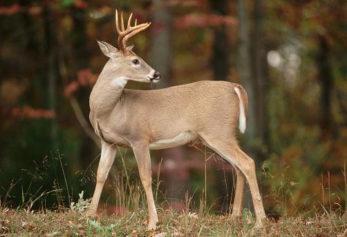 1990-1999「White-Tailed Buck」:スマホ壁紙(17)