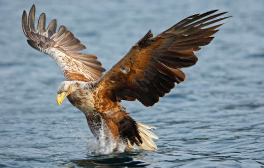 Flapping Wings「white-tailed sea eagle」:スマホ壁紙(4)
