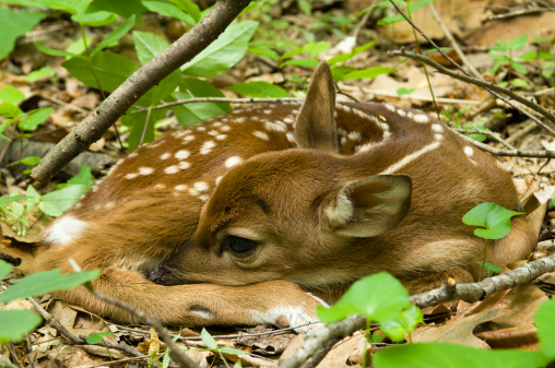 Fawn「White-tailed deer fawn(Odocoileus virginianus) lying on forest floor」:スマホ壁紙(14)