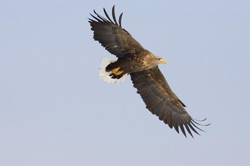 Glider「White-Tailed Eagle in Flight」:スマホ壁紙(16)