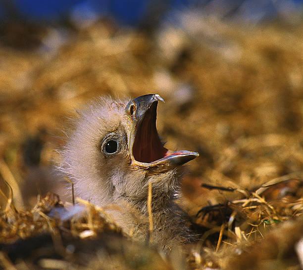 White-tailed eagle (Haliaeetus albicilla) chick in nest:スマホ壁紙(壁紙.com)