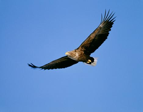Spread Wings「White-tailed sea eagle flying in clear blue sky, Rausu, Hokkaido, Japan」:スマホ壁紙(15)