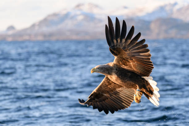 White-tailed eagle or sea eagle fisihing in a Fjord in Northern Norway:スマホ壁紙(壁紙.com)