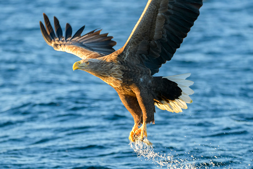 Carnivora「White-tailed eagle or sea eagle catching a fish in  a Fjord near Vesteralen island in Northern Norway」:スマホ壁紙(19)