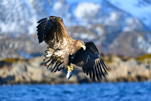 Carnivora「White-tailed eagle or sea eagle catching a fish in  a Fjord near Vesteralen island in Northern Norway」:スマホ壁紙(16)