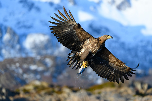 Animals Hunting「White-tailed eagle or sea eagle catching a fish in  a Fjord near Vesteralen island in Northern Norway」:スマホ壁紙(19)