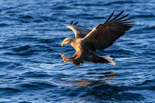 Animals Hunting「White-tailed eagle or sea eagle catching a fish in  a Fjord near Vesteralen island in Northern Norway」:スマホ壁紙(7)