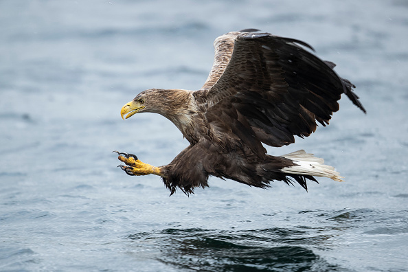 Bird「White-Tailed Eagles Monitored Ahead Of Reintroduction Project」:写真・画像(14)[壁紙.com]