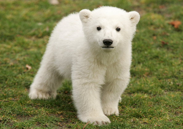 Polar Bear「Knut Makes First Public Appearance」:写真・画像(2)[壁紙.com]