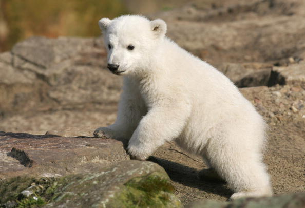 Polar Bear「Knut Makes First Public Appearance」:写真・画像(14)[壁紙.com]