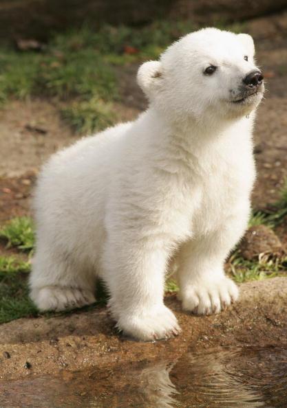 ヒューマンインタレスト「Knut Makes First Public Appearance」:写真・画像(7)[壁紙.com]