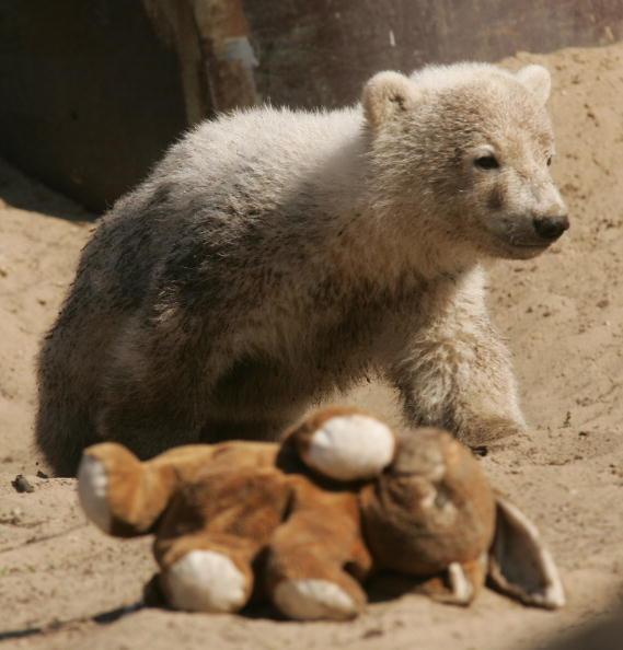 Bear Cub「Knut Mania Continues」:写真・画像(10)[壁紙.com]