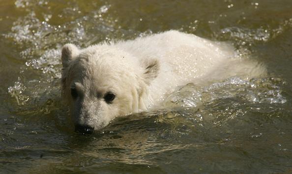 Bear Cub「Knut Mania Continues」:写真・画像(11)[壁紙.com]