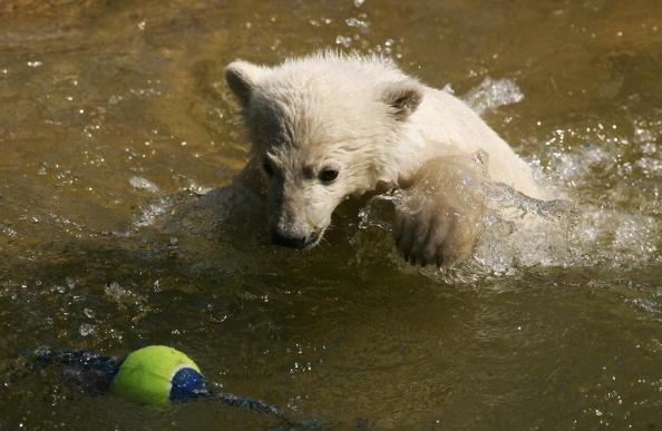 Bear Cub「Knut Mania Continues」:写真・画像(9)[壁紙.com]