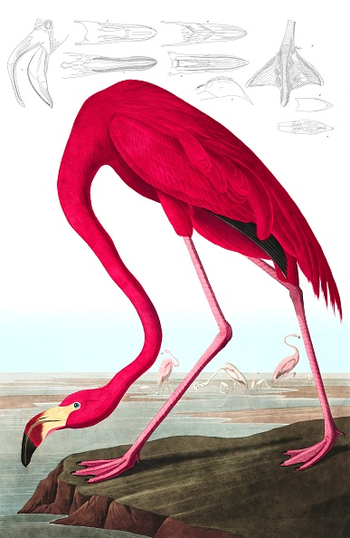 Illustration「American Flamingo」:写真・画像(10)[壁紙.com]