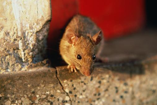 Rat「Black Rat (Rattus rattus)」:スマホ壁紙(15)