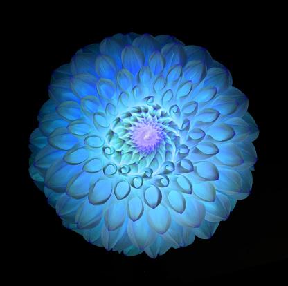Sensory Perception「Surreal dahlia flower in turquoise, purple & blue on black.」:スマホ壁紙(4)