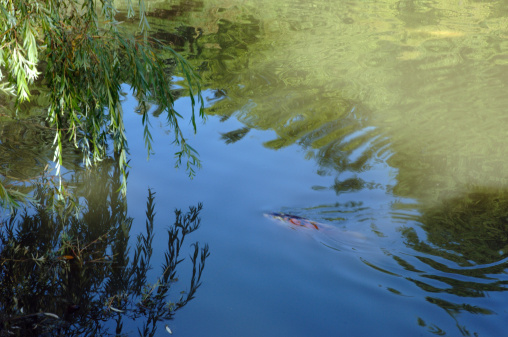Carp「Koi carp swimming in pond」:スマホ壁紙(17)