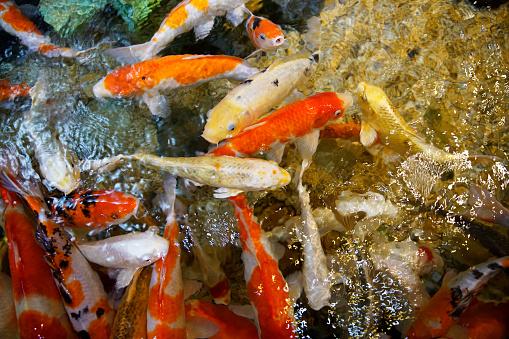 Carp「Koi Carp Swimming In Water」:スマホ壁紙(1)